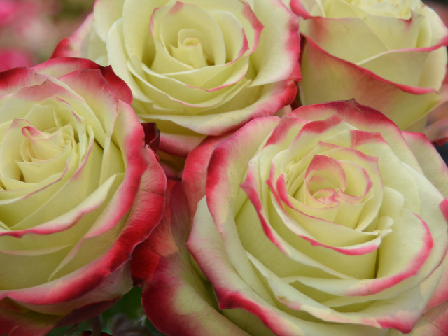 Rosa Her Majesty
